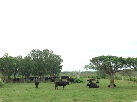 黒島の牛達