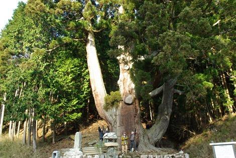 兵庫県 武田城の近くの巨木