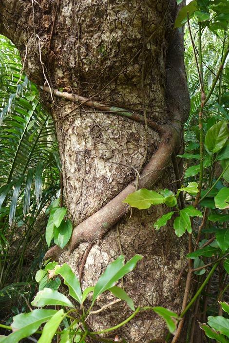 大神島の展望台の巨木