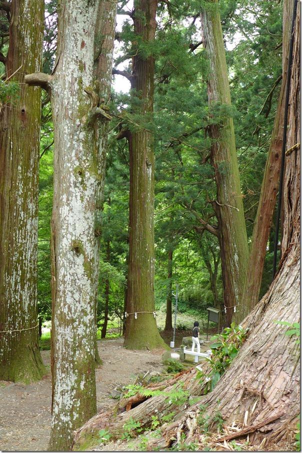 金運 金桜神社の巨木杉